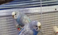 Here we have 2 parrots sea blue and dark blue reallllllyyncute have to sell them because I have a kitting and the birds get scared it includs 2 parrots , I huge cage , bird house , 2 eating holders , 1 playing rope 1 bag of food you can get anywhere for