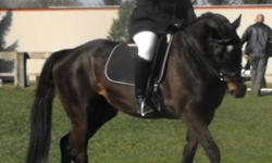 I am looking for a part-leaser for my mare. 9 years old, 16.1, sound and sane.No rear, no buck, no vices, no quirks. Trained to Training Level dressage, has had 30 days pro training over fences but may be a little rusty as I don't jump. We also play