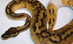 I have a pair of Pastel Pied Ball Pythons available.   Male - $2200 (pics 3 & 4) Female - $2500 (pics 1 & 2)   Both are eating f/t rats, growing fast and coloring up nicely. Payment plans available, just inquire!   Thanks,   Phil