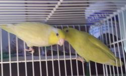 For sale pastel yellow pair of parrotlet. Banded. Asking $250 a pair