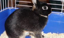 Chilako's Nibbles Father: Pineveiws E2D Mother: Hobbs Layla) Black otter Netherland Dwarf doe Born: October, 16, 2010 Only reason we're selling is to make room for Lionhead rabbits. She may be pregnant, and if she is, we would like full rights of