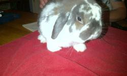 Pedigreed Holland Lop Rabbits   1. Male Blue Eyed White   2. Male Broke Blue Cream   3. Female Broken Tort   I am a breeder and looking to downsize, looking to find them homes with other Breeders, 4H or in loving homes as pets. NOT FOR FOOD    I also have