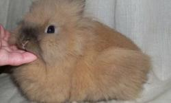 Casablanca Lionheads has Lionhead bunnies looking for new homes! 3 of them are pedigreed 1 is not. All born this fall All bunnies shown in this ad are AVAILABLE Picture #1- Black Tort female $50 with pedigree Picture #2- Vienna marked Black female $50