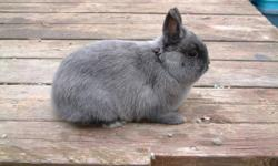 I have a Pedigreed Netherland Dwarf buck for sale. Age 1 year 9 1/2 months. He is in good condition. He weighs 2 lbs 6 oz   1.07 kg