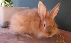 I have young satin angora rabbits for sale - males and females, different colours, born earlier this year.  Please see http://www.speckledhenrabbits.blogspot.com for more information and a picture of each rabbit.