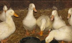 I have 8 peking ducks for sale take 1 or take them all , spring hatched,show quality, naturally raised [no chemicals]   located 15 minutes southeast of edmonton this ad was placed for a friend, no email, please phone  780 690-6069