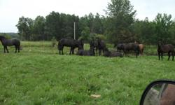 Percheron Horses For Sale   6 Geldings - Black - Coming 3 years old   Very quiet - Some started in harness   $2500 per team or best offer   Please call Glen at 780-675-4694     Phone only, no replies via email.