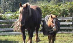 Sally- 11y/o chestnut Percheron mare. Has had one foal. Halter broke and has been saddled and backed but is very green [should be super easy to get going though, she is very laid back]. Needs work with her feet [as in learning to pick them up] Gets along