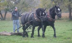 Quiet team of black percherons, one mare and one gelding.  $2000 each. Both are broke to ride and drive. The mare is 8 years and the gelding is 5 years old.  Will sell single or as a team. Please email with more questions.