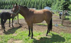 Have a 3-year old mare that is one quarter percheron and three quarters thoroughbred.  She is a registered Performance horse, halter broke and has had regular farrier work.  She is gentle and used to being handled.  Would like $1000 o.b.o.