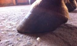 I am a natural trimmer who received training through the AANHCP, www.aanhcp.net.  The trim is a non-invasive trim which can help with hoof problems ranging from contracted heels, to wall cracks, to founder. The trim allows horses to move more naturally