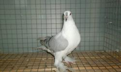 hi i have some fancy pigeons for sale fantails,monks, fairy swallows and oriental rollers.