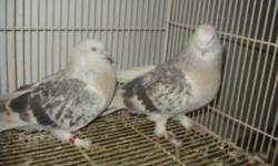 I have pure blood line very good performing and quality turkish and iraqi crack tumbler pigeons for sale most of my birds tumble in a coop call for more info i have young and old. 9059734747