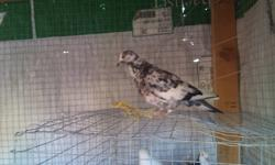 I have different kinds of pigeons that need to go,
