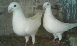 hi i am looking for that kind of pigeons if u have send me some pics and price thanks.