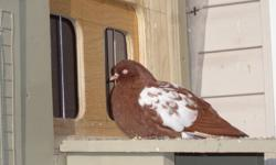 Dutch High Flayers Pigeons for Sale .
