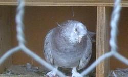 i have all these pigeons to chose from and i want to sell them please contact me at 905 577 6987 or 905 515 1651