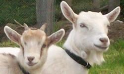 3 year old and 8 month old female pigmy goats...very friendly...must be sold together.