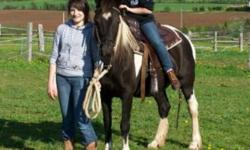 PINTO MARE available 14 hh, sturdy and reliable.  Great learning horse for child beginning riding, loves attention, can get along well without other horses, has been used for 4-H kids & out on trails.  She is sound, stops and goes ahead easily.