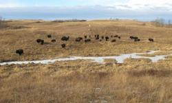Plains Buffalo herd for sale   18 cows at $2,500 / head 15 calves at $1,500 / head 1 bull at $5,000   Package deal of $65,000 OBO.   Contact phone # 1-306-384-4067