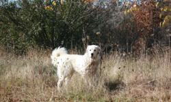 Taking reservations for Great Pyreneese pups from working parent. Both parents work on sheep farms. Dam is non-papered, purebred with bloodline from Alberta. She lives with and protects sheep, goats, and poultry. Sire is a purebred, non-papered Great