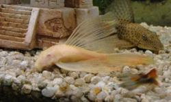 """1 Pleco about 5"""" long $10.00 .  2 White Bristle nose cat long fins $15.00. ea. approx 4.5"""" possibly male and female.  (at the pet store 2.5"""" long for $25.00!) Glen 864-6228"""