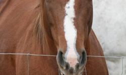 Poco is a 10 year old mare, about 14hh!  We bought her for our children who are beginners but she just proved to be too much horse for them.  She needs an experienced rider right now b/c she has had some time off.  I rode her a handful of times this