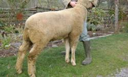 He's registered, his name is Bo Duke HLZ 1X. He was born march.13/10. He is a big long bodied ram with good depth, width and a nice hind quarter. He is a show/production ram with breeding from Ontario, he will sire good show lambs and also lambs fit for