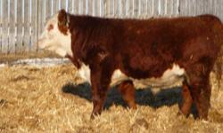 Polled Hereford Yearling Bulls Thick topped, big rumped, easy calving with good temperaments. 50 % down, balance due when the bull leaves the farm in spring. Pick Them Early! V&G Polled Herefords  1 mile north of Melville 306-728-9057