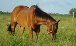 I have 2 ponies and 1 horse for lease.They have to remain on my farm in the Woodstock area. This quiet facility includes stadium jumps, a few cross country fences, a roundpen and a number of grass paddocks for riding.   I have a Quarterhorse gelding,