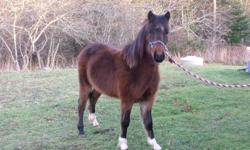 17 month old hackney cross stud pony have had him haressed a few times and is doing well have had him saddled once with a child on his back he does not bite or kick he is use to all kinds of different animals and noises