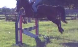 Sammi is a solariums pony with tons of show experience he is 10 years old he is very athletic can Jump 3' with rider and 3'6 with out a rider and he has also don't jumper and western he came first in everything He can do very sharp turns and it very fast