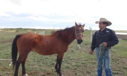 6 yr old pony 13 hh , broke to drive. Listing her for a friend. you need to call 403 816 5665 for info.