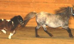 Liver Chestnut Roan Pony Mare aprox 9hh Pictured with her 2011 colt and the black and white pinto 11hh stud she has been out in the pasture with from spring until present This girl was kinda wild when we first got her with her colt.... This spring but
