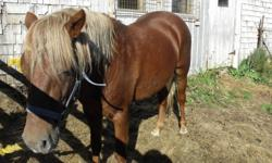 Chestnut Welsh Cob type 13 hands/52 inches high, about 600 lbs Proven breeding ability Born spring, 2008 Unbroken
