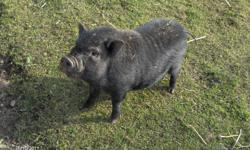 I have a young male pot belly pig for sale.  He is gentle I had a harness on him this summer.  He will take food from your hand but is still a little nervous just will take some time.  He comes running when he is called and has quite the personality.  To