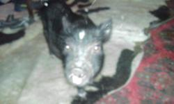 Pot Belly Pig for sale, Price is $75 . He is 15 lb. 12 weeks old. Comes with cage, Harness and leash, pig food, ball that he plays soccer with treats go in it, dish for food and mat. Loves to play gets a long with cats ,dogs, and kids. He go out side to