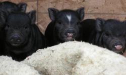 """Potbelly Piglets looking for forever homes. Mom and dad are about 60 lbs and 18"""" tall, and can be viewed, ( Ophilia is in a picture with my 9 year old son)."""