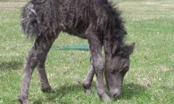 Nightmare This mare is beautiful! Once she has shedded out her baby fuzz, she will be all black, maybe dark bay, with a star on her forehead. She will be a great cart horse. Nightmare is just going on 5 months old , and is weaned off of the Mare. Mom is