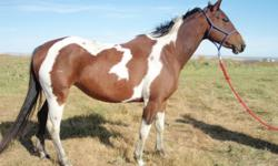 Paint Breeders Have a LOOK! LARKSCHOCLOTLACE APHA REG # 882,021 Bay Tobiano Foaled: June 9, 2006 Lacie has AQHA super horse Rugged Lark oh her papers.  Her topside is loaded with AQHA legends such as Leo, Three Bars, and The Ole Man.  While her bottom