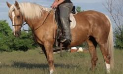 Due to a shift in creative energy I have decided to move out my projects. Priced to Sell. MIRELLA - 9 year old Palomino mare, 14.2hh, well started, huge stride, big walk and trot, nice smooth lope. Would be a good project for a confident rider with a