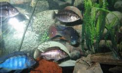 For sale: Protomelas taeniolatus . Common Name ( Red empress) I have 3 adult males and 7 adult females. They are F1,. I have raised these since ¾ of an inch and the male (largest is close to 7-8 inches,, big boy). They have been raised on NLS, Danaichi,