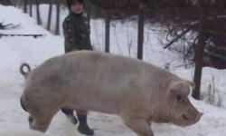Proven breeding  boar  18 months old. Fantastic temperament,, is being kept in a pen with gilts, horses, goats, sheep and a LGD,, and all this is all new to him, as previous owner very recently passed away. He has been  gentle on the gilts. His babies are