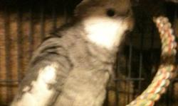 11 year old female grey split to white named pepper 2 year old whiteface named dusty Both hand tame, Proven breeding pair. Can come with cage and breeding box for extra $50 MUST GO TOGETHER! I also have a 2 year old hand tame male whiteface. that can come
