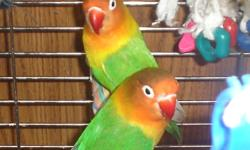 Proven breeding pair of Fishers Lovebirds.  Approximately 6 years old, life expectancy of 15 to 20 approx.  Have been producing babies for last 3 years. Price includes 2 breeding boxes and baby lovebird formula as well as toys. First photo shows the