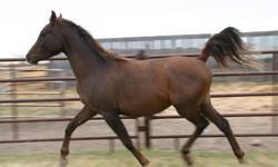 3 yr old, PB Arabian Stallion, Chestnut - sire son of Safeen/Tajique, dam daughter of Nariadni/SA Kashmir - contact Shelley Johnson at 780-858-3526
