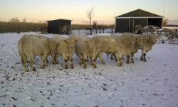 Purebred Charolais Bulls, they will be turning a year old next month, they are quiet, have good feet, and low birth weights, take a look now before the price increases in another month