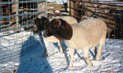 4 purebred Dorper Rams (2-3 yrs old). Rams are from Ram H, Lochend Dorpers & Normadeau's. Good size and confirmation! Vaccinated. $400 choice or $300/each for all. OBO. 306-724-4451 - Debden, SK