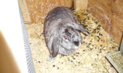 We have a purebred holland lop doe for sale. She is the chinchilla color, about 2 and half years old, shes not tattooed or pedigreed but she has had three litters for us before and is a great mother. We dont need two lops which is why we are parting with