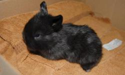 Hello, I am a 4H breeder, I have a 2-3, maybe more, solid black Holland Lops. They were born on September 29th They will be ready by November 24th. They are fully Pedigreed. The Dam champion from Ohio.   Thank-you   Erynn